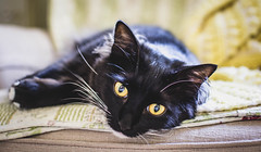 Charlotte (Lottie) (jm atkinson) Tags: purple yellow tuxedo cat white black indoor
