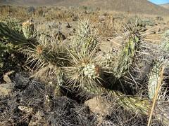 DSCN8665 (Robby's Sukkulentenseite) Tags: atacama austrocylindropuntia cacti cactus chile coquimbo freirina ka3741s kakteen kaktus miquelii rb2050 reise standort