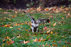 hawk-3929.jpg (HVargas) Tags: bird birds hawk wildlife aves falcon prey chickenhawk falconry carnivoro harrishawk harrisshawk harlans gavilan ractor baywingedhawk duskyhawk ratonerodecolaroja gavilncolirrojo