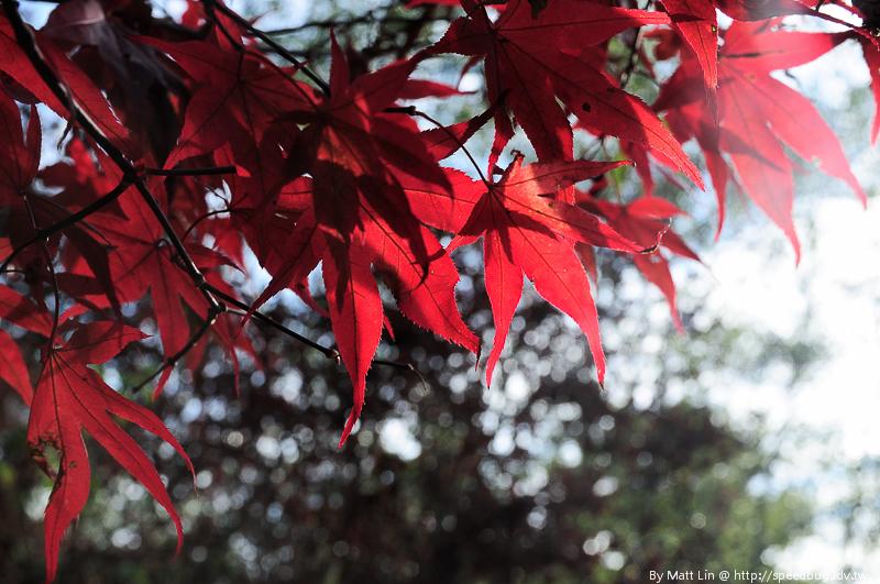 福壽山農場楓紅-16