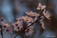 Kirschblüte (grafenhans) Tags: blumen tamron frühling kirschblüte 2590 grafenwald slt55