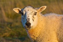 Autumn Sheep (jillyspoon) Tags: autumn light wool face look grass animal canon eyes afternoon sheep farm coat yorkshire ears harrogate canon70200mm 60d canon60d fillingtheframe autumnsheep