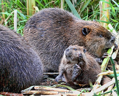 Hi there! (Peggy Collins) Tags: hello canada smile smiling britishcolumbia teeth pacificnorthwest chewing marsh waving sunshinecoast beavers wavinghello canadianbeaver babybeaver beavereating peggycollins beaverfamily marshanimals