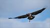 Bald Eagle in Flight (Raymond J Barlow) Tags: nature eagle wildlife baldeagle adventure birdinflight 200400vr nikond300 raymondbarlowtours