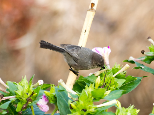 """Bushtit • <a style=""""font-size:0.8em;"""" href=""""http://www.flickr.com/photos/59465790@N04/8181275103/"""" target=""""_blank"""">View on Flickr</a>"""