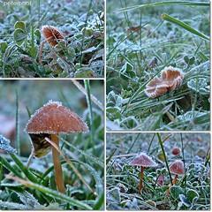 Minis ganz nah.... (peterphot) Tags: autumn garden frost herbst wiese pilze garten makros nahaufnahmen