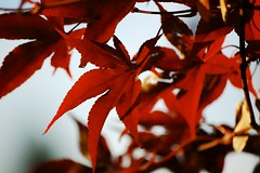 Maple Tree (Again) (Giopuppy) Tags: november autumn red italy macro home nature colors leaves closeup foglie d50 garden lights maple nikon colorful italia novembre nikond50 foliage momiji   autunno rosso  acero   carmagnola