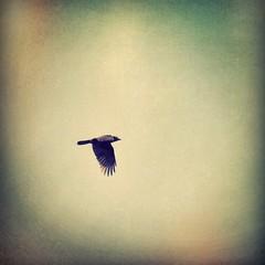 Wingbeat (liquidnight) Tags: above camera travel motion birds animals oregon portland fly wings movement nikon solitude wildlife birding flight journey urbanwildlife pdx laurelhurst crow solitary graceful birdwatching corvid overhead corvusbrachyrhynchos d90 instagram