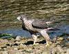 Peregrine Falcon - adult - Peale's Falcon (Len Blumin) Tags: adult bodegabay peregrinefalcon falcoperegrinus falcoperegrinuspealei