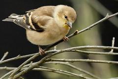 Winter Plumage Goldfinch #2 (rdroniuk) Tags: birds goldfinch oiseaux americangoldfinch smallbirds carduelistristis passerines chardonneretjaune