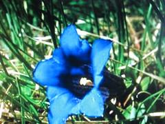 Close up of blue flower (chanelchat Rachel) Tags: flowers macro closeup canon bunch bouquet lys arrangement flowersarebeautiful natureandpeopleinnature weloveallflowers chanelchat blueflowerslili roseforevedryone