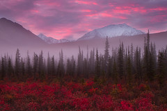 The last gasp of  Autumn (Ania.Photography - off) Tags: morning pink autumn red usa mist mountain snow color tree fall beautiful beauty horizontal fog alaska forest sunrise season landscape photography dawn day purple tranquility snowcapped northamerica change remote awe majestic farnorth idyllic scenics alpenglow brooksrange distant mountainrange coldfoot colorimage landfeature extremeterrain 3000v120f physicalgeography pastelcolored abigfave natureoutpost blueberryplants stunningskies alaskausastate thelastgaspofautumn