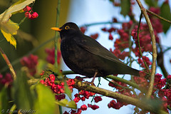 Merel-Blackbird  (Turdus merula) (Bram Reinders) Tags: holland bird nature nikon wildlife bram nederland thenetherlands natuur delfzijl groningen nikkor turdusmerula blackbird vogel merel zangvogel farmsum reinders singingbird nikkor300mmf4ifed bramreinders nikond7000 wwwbramreindersnl nieuwsgierigheidisdebronvanallekennis curiosityisthesourceofallknowledge bramreindersfarmsum kardinaalsmutsstruik