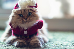 """Why?"" (torode) Tags: christmas red white cute green wool hat cat persian costume belt kitten fabric button beanie"