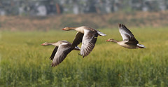Grey lag Goose (Zahoor-Salmi) Tags: camera pakistan macro nature birds animals canon lens photo tv google flickr natural action wildlife watch bbc punjab wwf salmi walpapers chanals discovry beutty bhalwal zahoorsalmi panoramafotogrfico thewonderfulworldofbirds blinkagain