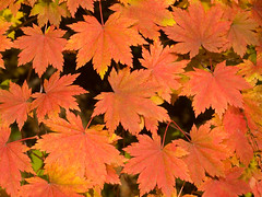 maple leaves background (Maxim Tupikov) Tags: park autumn red sky orange brown sun sunlight plant canada abstract color tree fall texture nature beautiful beauty yellow closeup forest scarlet season gold golden design leaf maple bush colorful branch pattern view natural bright russia outdoor vibrant background seasonal scene illuminated foliage changing colored lush russian autumnal element