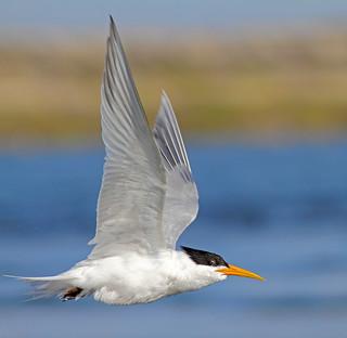 Elgant Tern Flying Series