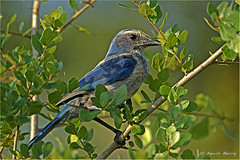 Florida Scrub Jay (Kevin B Photo) Tags: blue trees wild plants usa sunlight plant color tree green bird nature beautiful beauty birds horizontal closeup america outdoors photography one sand colorful day alone afternoon exterior unitedstates natural florida native wildlife south sandy small wing scenic peaceful calm southern perch vegetation daytime perched fl southeast winged scrubjay avian serenitynow deltona kevinbarry wowiekazowie