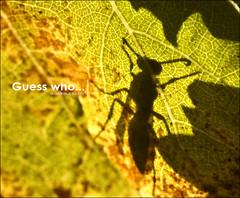 Guess who... ( alfanhuí) Tags: autumn fall silhouette backlight leaf vineyard vespa wasp viña vine otoño silueta parra grape sella vinya tardor vid avispa
