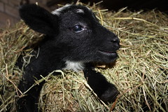 New Life always amazing  Explore # 88 ( 2-12-2012 Thanks !!! (excellentzebu1050) Tags: closeup farm explore lamb lambs newlife thegalaxy explored animails takenwithlove lambbirth 100commentgroup mygearandme thegoldenachievement rememberthatmomentlevel1 sunrays5