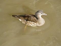 WWT Slimbridge: Mandarin duck (female) (michaelday_bath) Tags: mandarinduck aixgalericulata wildfowl wwtslimbridge