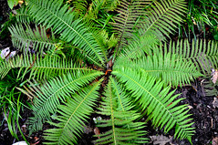 Fern (StateMaryland) Tags: plant fern forest floor