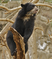 Hear ye, hear ye! (ucumari photography) Tags: bear zoo oso smithsonian dc washington national april andean spectacled 2011 tremarctosornatus specanimal ucumariphotography dsc8008 osoandino eljuco