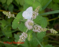 Holly Blue, La Brenne National Parc, France (predman69) Tags: blue white france flower green butterfly hollyblue elementsorganizer labrennenationalpark