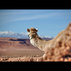 looking over (s@brina) Tags: travel focus view explore camel marocco viaggio prespective puntidivista lookingover
