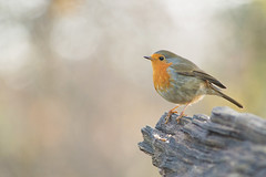 Rouge-gorge, Robin (Zed The Dragon) Tags: wild bird robin speed jaune french geotagged rouge effects photography photo flickr tits minolta photos bokeh sony main vert full frame gorge fullframe alpha antony animaux parc postproduction franais greattit sal zed oiseaux 2012 francais rougegorge sceaux lightroom effets msange parcdesceaux 24x36 a850 sonyalpha hpexif parcsceaux dslra850 alpha850 zedthedragon minoltaapo80200hs charbonnire