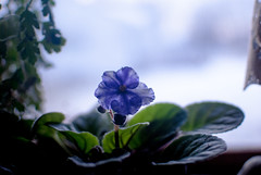 Winter's Bloom (asrai) Tags: blue autumn snow flower green home window flora december purple houseplant michigan curtain violet 2012 whitecloud windowgarden d3000 thelittlewhitehomeonthecorner