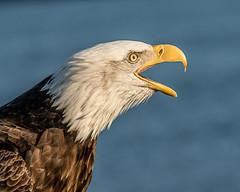 Shout!!! (Andy Morffew) Tags: baldeagle portrait calling kachemakbay alaska andymorffew morffew naturethroughthelens