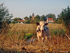 Hoeke (xplorengo) Tags: damme belgique belgium belgi belgie bruges brugge brujas hoeke cow koe fields velden landbouw agriculture vlaanderen flanders flandre church kerk