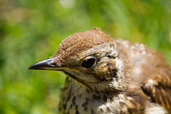IMG_3897_edited-1 (Lofty1965) Tags: ios islesofscilly oldtown bird thrush