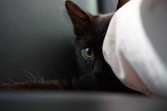 Shinobi (Alexsandra Machado (temporarily offline)) Tags: black cat fluffy gato preto gatinho pet fofinho cute eyes gorgeous olhos hidden escondido caador brincando kitten kitty long hair adopted adotado pelo longo