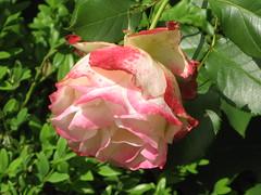 Du, ohne Namen, den die Millionen (amras_de) Tags: rose rosen rua rosa rue rozo roos arrosa ruusut rs rzsa roe rozes rozen roser rza trandafir vrtnica rosslktet gl blte blume flor cvijet kvet blomst flower floro is lore kukka fleur blth virg blm fiore flos iedas zieds bloem blome kwiat floare ciuri flouer cvet blomma iek