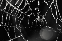 Radioactive Spider... (mc_icedog) Tags: winnipeg manitoba canada mb macro morning dew insect spider web light early closeup wildlife outdoors sunrise shallow depth field monochrome abstract reflection illumination luminous nature pattern