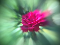 Rosebaby (~~Dirk~~) Tags: mobile lensbaby sulingen lm10 ~~dirk~~ iphone5se