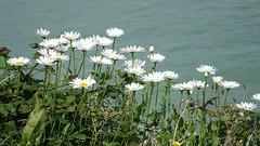La Brche, Arromanches-les-Bains (Basse-Normandie) (2015-09-04 -08) (Cary Greisch) Tags: france fleur calvados fra arromancheslesbains bassenormandie carygreisch labrche