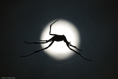 Spider Signal (eaglekepr) Tags: moon sky spider canoneos7d ef100mmf28lmacroisusm silhouette