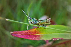Jimmy the cricket (Caleb4ever) Tags: caleb4ever cricket insect bug nature leaf green exoskeleton mandibles antennae macro macromondey l
