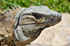 Iguana, Mexico (littlestschnauzer) Tags: mexico iguana reptile animal nature free wildlife tropical animals scales cute lizard skin eye face detail holiday vacation july summer 2016 watching observant nikon d7200 sunshine hot warm climate large big huge specimen