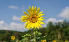 In the sunflower field. (andreasheinrich) Tags: nature sunflower field sky summer august sunny warm colorful germany badenwrttemberg neckarsulm dahenfeld deutschland natur feld himmel sommer sonnig farbenfroh nikond7000