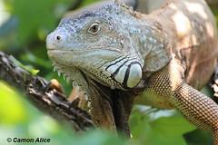 I DON'T CARE, I LOVE IT (pinkystar_84) Tags: colors colori iguana reptile rettili animals flickr portrait ritratto canon eos700d eye sguardo occhio natura wwf
