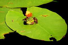 Wasserfrosch (ivlys) Tags: eulbach odenwald englischergarten grafzuerbacherbach teich pond frosch frog wasserfrosch waterfrog ranaesculenta tier animal seerose waterlily blatt leaf grn green nature ivlys