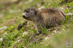 Murmeltier (MD-Pic) Tags: murmeltier swiss switzerland schweiz nikon d7100 tamron 150600 marmot wildlife animal tier