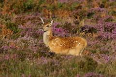 It's a beautiful day (Robin M Morrison) Tags: reddeer calf exmoor dunkery somerset cute heather purple flower