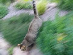 Colpo di fulmine (martini_bianca) Tags: katze gatto cat chat martinibianca movimento mouvement bewegung katzen gatti cats chats tier tiere animale animali animal animals