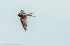 Swift in flight (bob golden) Tags: countryside ireland outdoors wicklow swift apus bird flight