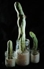 Dicks In Balls (jpmatth) Tags: digital color canon eos 7d lenstagged ef50mm25compactmacro home garden plant cactus trichocereus bridgesii monstrose clonea longform perlite mason jar 2016